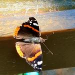 Schmetterling am Waldsee.