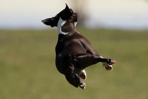 Boston Terrier im Flugmodus