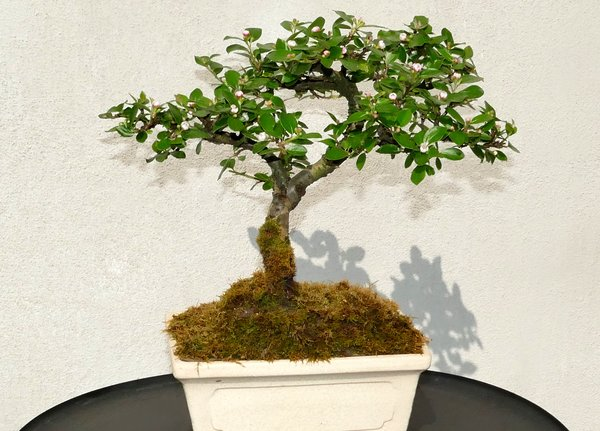 natur, bonsai