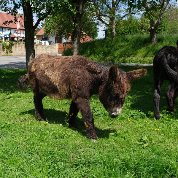 tiere, esel, hunger