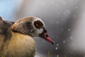 Nilgänse im Winter