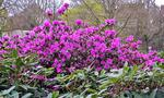 ... Rhododendron
