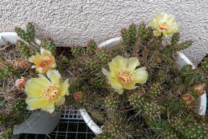 'Jumping cactus' in Blüte