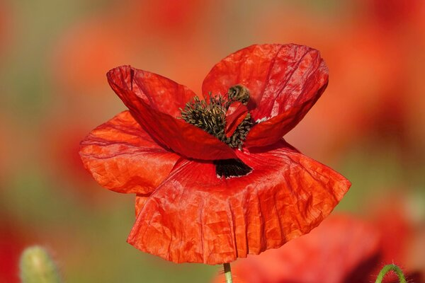 mohn, mohnblüte, roter-mohn, mohnblume, mohnblüte-mit-biene, mohnblüte-mit-besuch